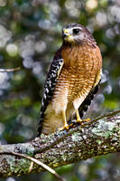 Red-Shouldered Hawk by NC-Photography