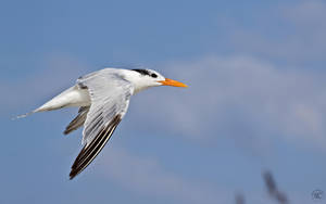 Royal Tern In Flight by NC-Photography