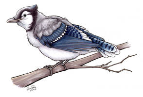 Young Blue Jay - Commission by twapa