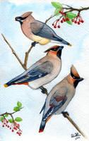 Bombycillidae by twapa