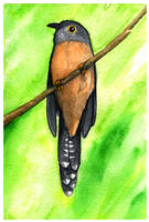Brush Cuckoo by twapa