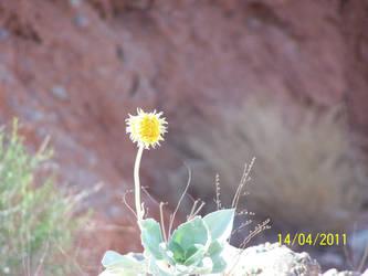 Yellow Desert Wildflower by sniperct