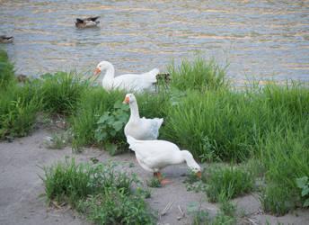 Ducks. Verona. Italy by jennystokes