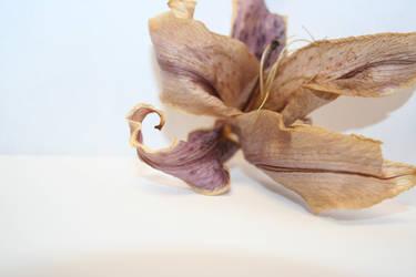 lillies 3 by gattobanco