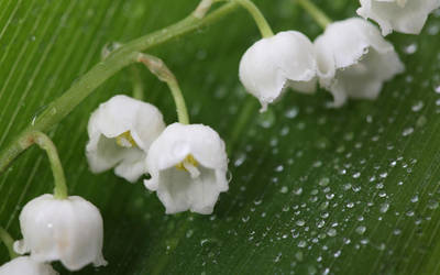 Lily of the valley by FloraLoveNL