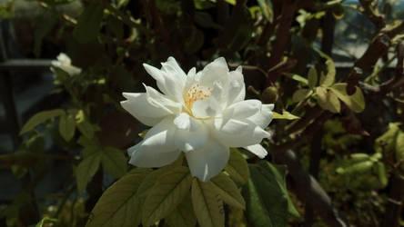 White Rose by FloraLoveNL