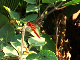 burning dragonfly by ishil