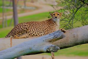 Cheetah by Macropus-Rufus