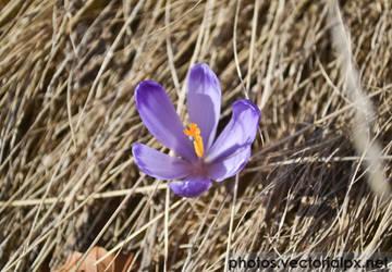 Purple flower by vectorialpx