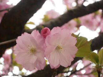 Perfekt Sakura by Lillybelli