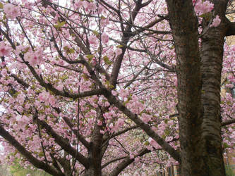 Beautiful Cherry Tree by Lillybelli
