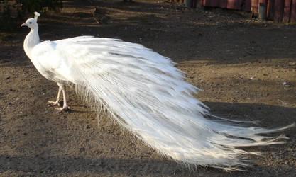 White Peacock 02 by MapleRose-stock