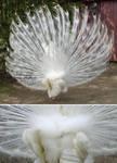 White Peacock Fan Backview by MapleRose-stock