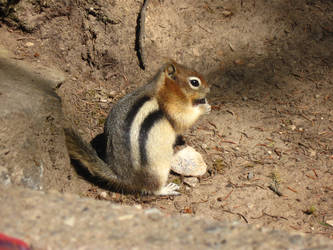 Chipmunk 02 by MapleRose-stock