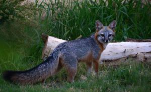 City fox Midland Texas by nolra