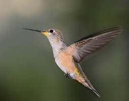 Female Rufus hummingbird by nolra