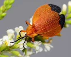 Net winged beetle by nolra