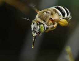 Native bee, Midland Texas by nolra