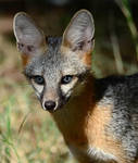 blue eyed gray fox by nolra
