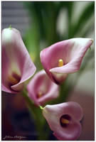 Calla Lillies by jillianpj