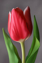 Tulip by Koshken