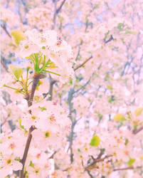 Cherry blossoms by Effervescent-Dream
