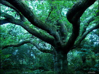 the great oak by Estruda