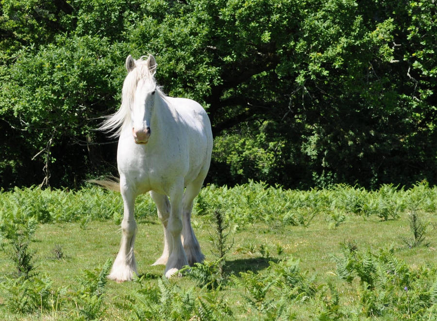 The White Shire Horse 2a By Estruda