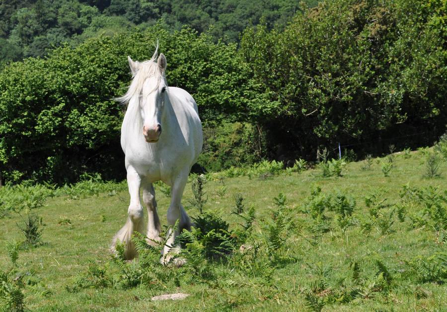 The White Shire Horse 4 By Estruda