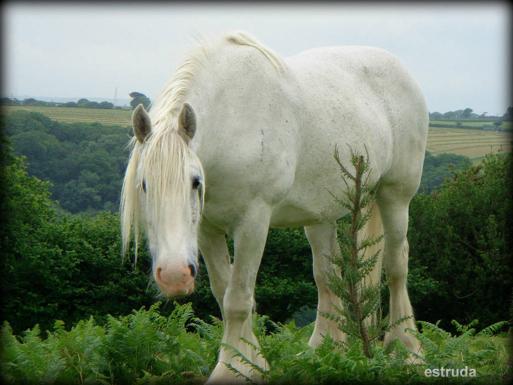 The White Shire Horse 10 By Estruda