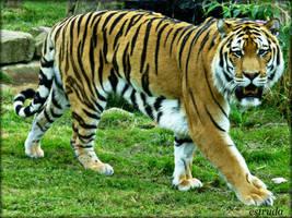 Eyes Of The Tiger by Estruda