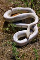 Full Albino Corn Snake by Caloxort