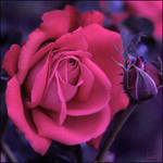 Rose by D-Lory