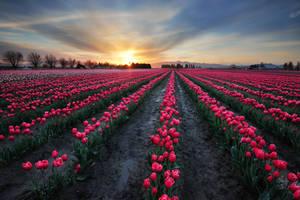 Tulip field by porbital