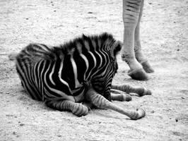 Baby Zebra by misschix0r