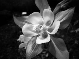 Columbine by MirMidPhotos