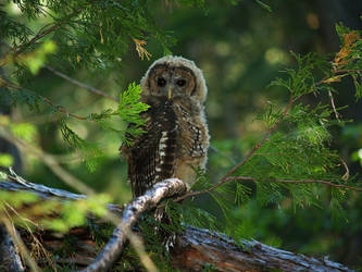 Spotted Owl Juvenile 2 by MirMidPhotos