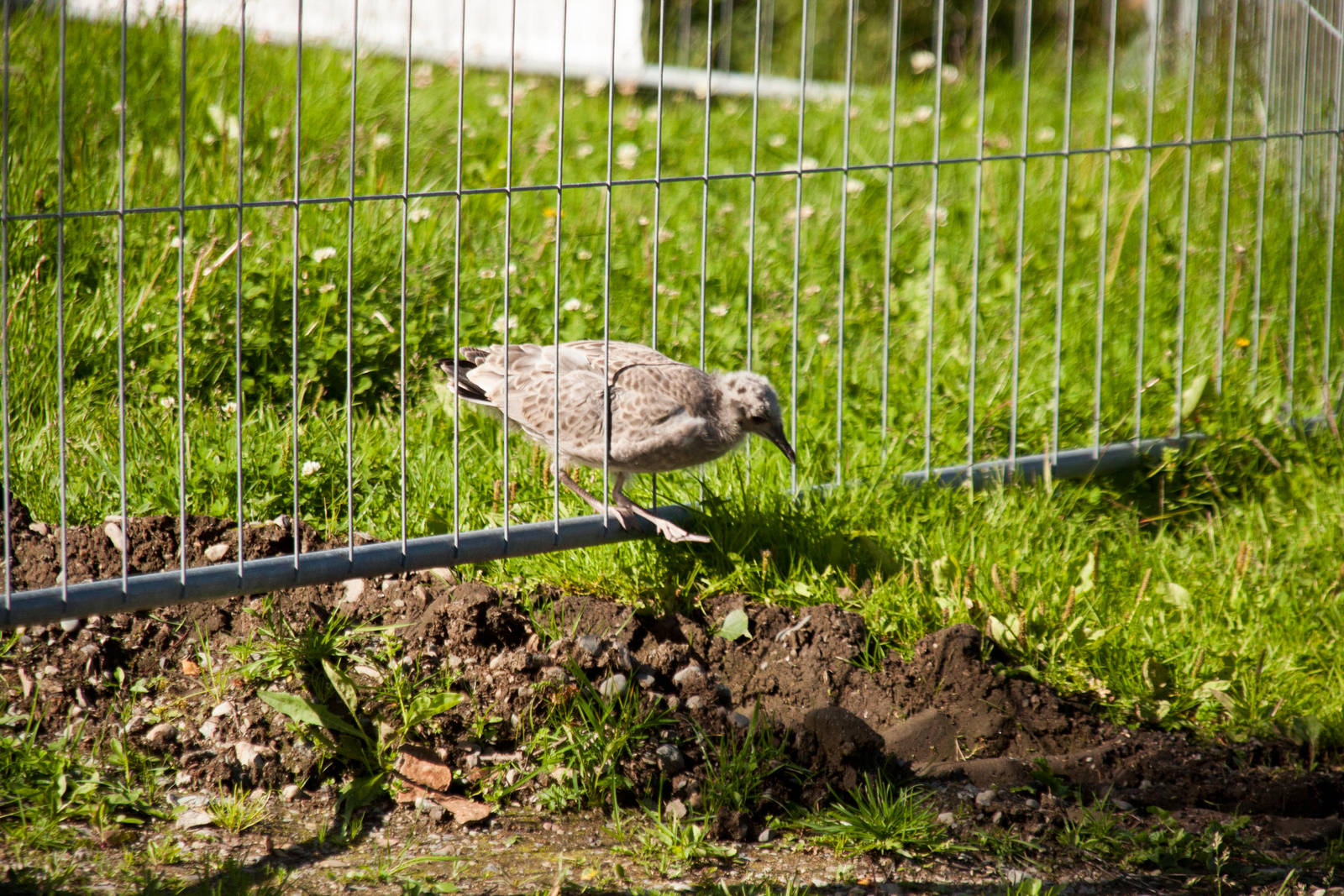 Young Gull by Datasmurf