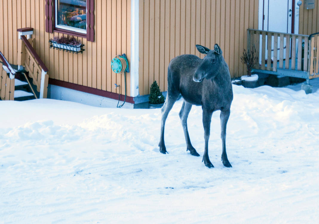 Urban moose by Datasmurf