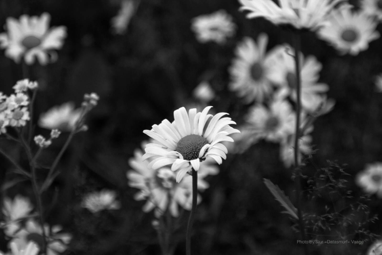 Leucanthemum vulgare (b/w) by Datasmurf