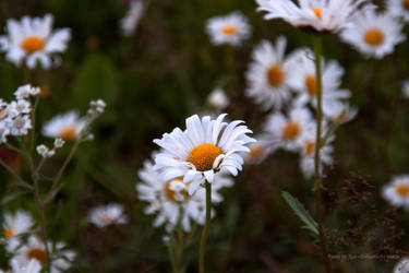 Leucanthemum vulgare (colours) by Datasmurf