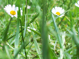 Daisies by cleo72