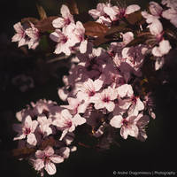 Blossoms by DrAndrei