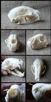 Racoon Skull by CabinetCuriosities