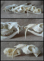 Comparison: Fanged Deer by CabinetCuriosities