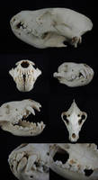 Brown Hyena Skull by CabinetCuriosities