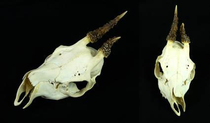 Abnormal Roe Deer Buck Skull by CabinetCuriosities