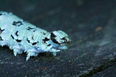 Caterpillar by buzzregog