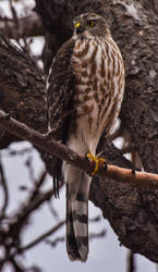 1/1 Cooper's Hawk by Keithspangle