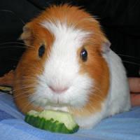 Lil ginger piggie by Crafty-lil-vixen